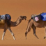 camel trek